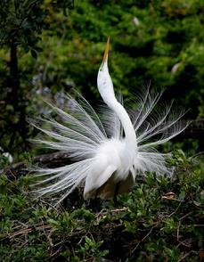 Beautiful Egret photo
