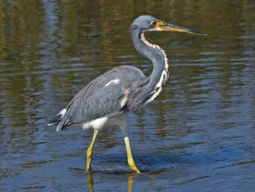 A Memorable Wildlife Tour 3 Tricolored Heron 2528Egretta tricolor 2529 RWD2 St. Francis Inn St. Augustine Bed and Breakfast