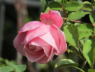 Rose Garden at Washington Oaks State Gardens